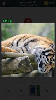 На деревянном настиле развалился тигр, голову свесил вниз