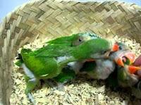 Burung Betet Masih Lolohan
