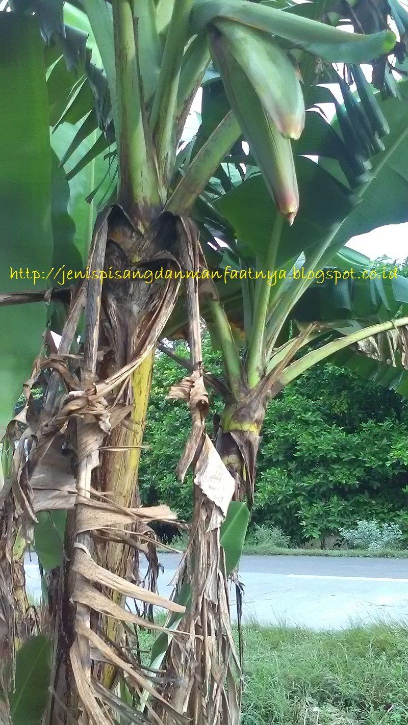 Pisang Pendek Berbuah-Gambar jantung Pisang Raja Ijo Selendang