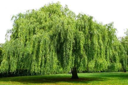 Un árbol muy versátil