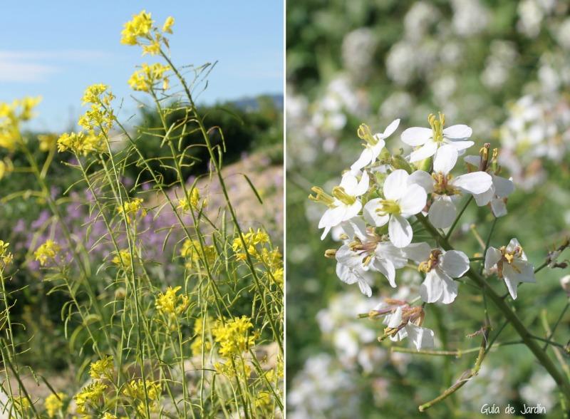 Brassica arvensis (amarilla) Diplotaxis erucoides (blanca)