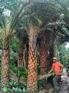 Harga jual pohon palm kenari