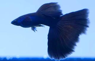 Gambar Guppy Black Moskow