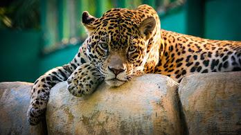 Leopard, 4K, 3840x2160, #52