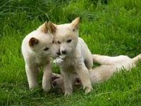 Baby Dingo Pups