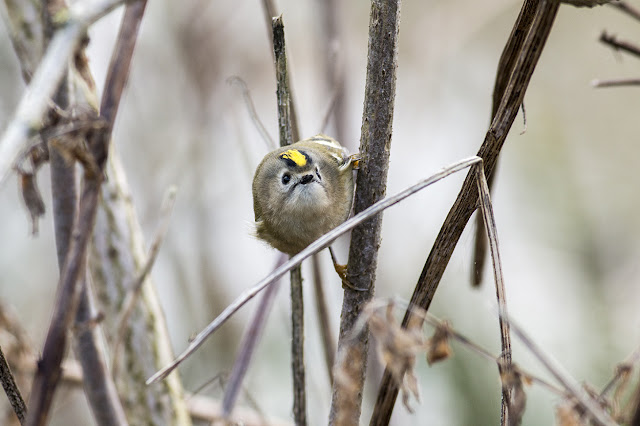 Coming in to see me - Goldcrest