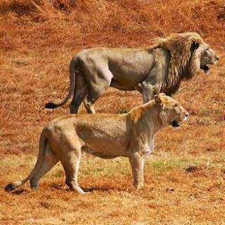 Leones Panthera leo