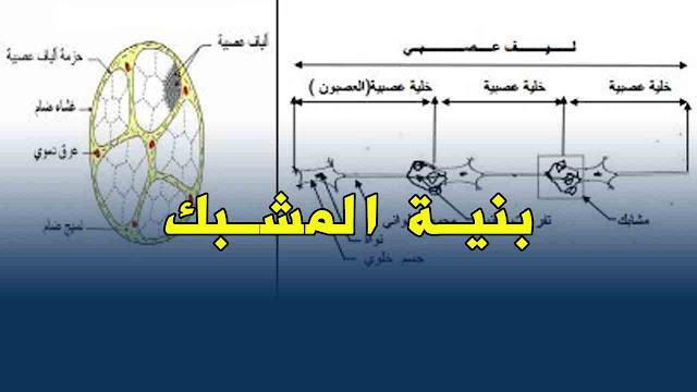 رسم يوضح بنية المشابك و طبيعة الرسالة العصبية