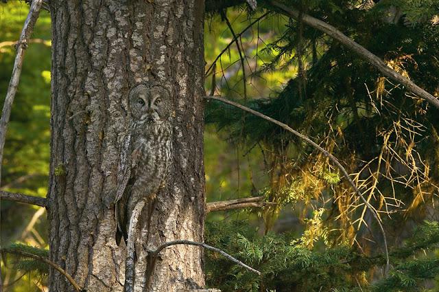 Coruja camuflagem