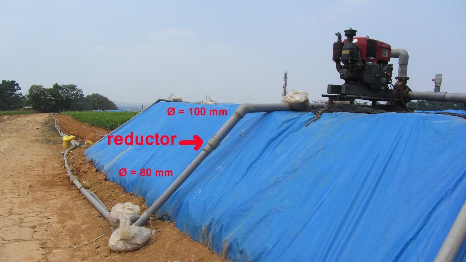 succión jengibre