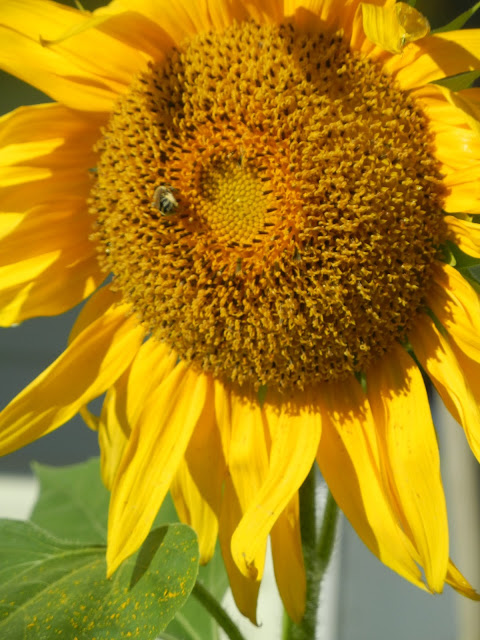 Bee pollinates sunflower