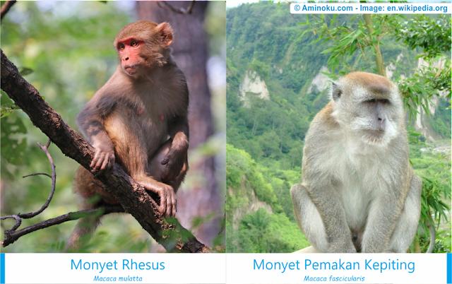 Perbedaan antara monyet rhesus dan monyet pemakan kepiting