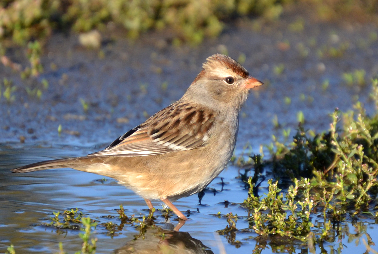 Woods Walks and Wildlife: White-crowned Sparrows and More ...