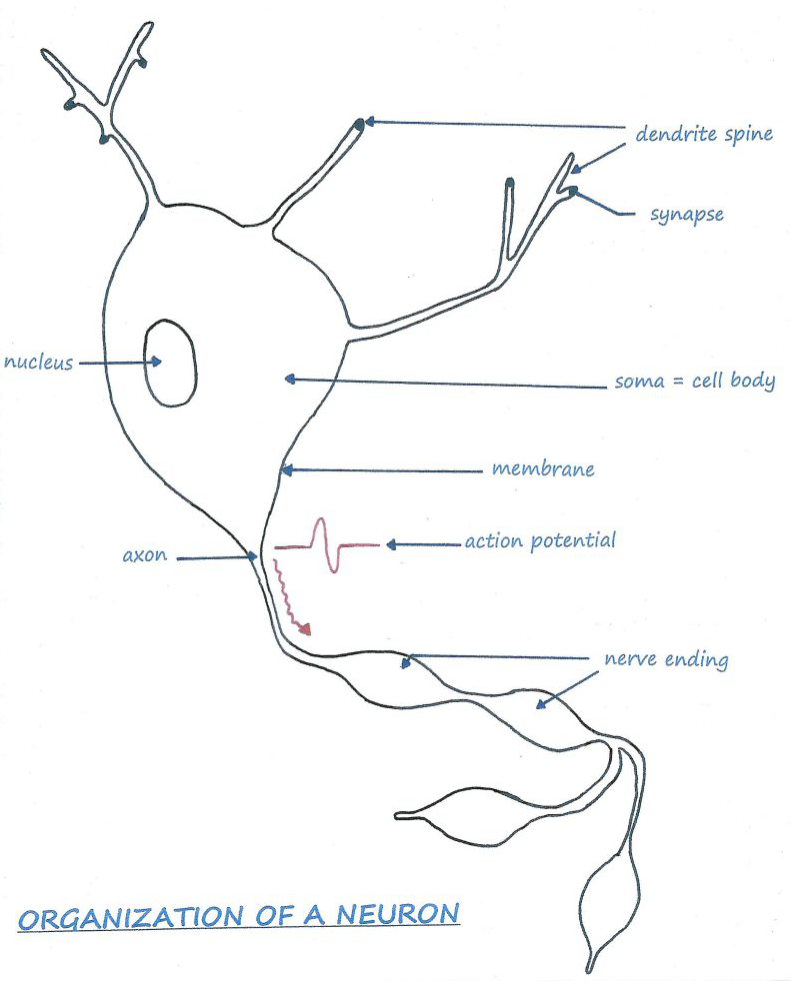 Transmission of Neurons Informations