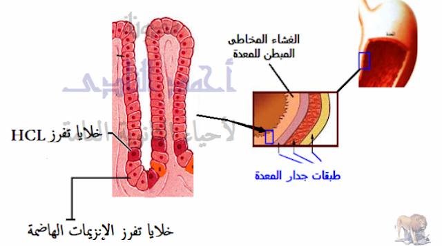 آلية عمل الجهاز المناعى فى  الإنسان - المناعة الطبيعية -خط الدفاع الأول - إفرازات المعدة الحامضية hcl