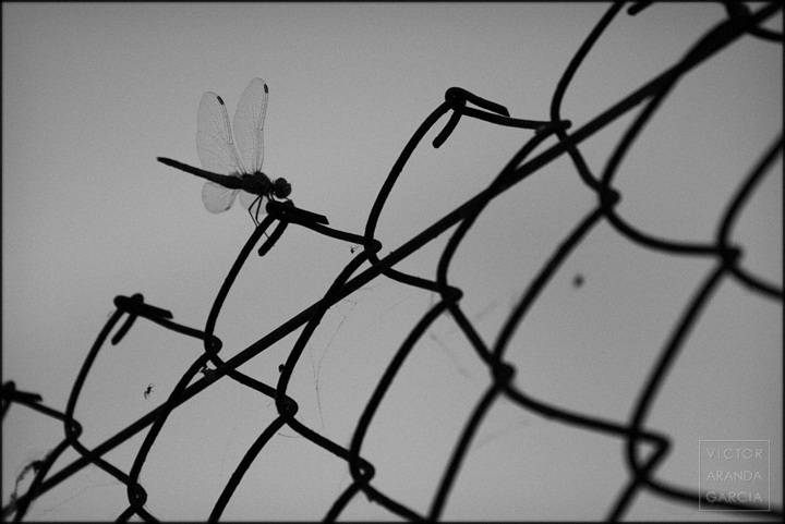 fotografía, parotet, libélula, Límites, naturaleza, Valencia, El_Palmar