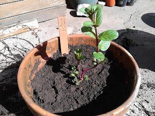 New garden mint plant
