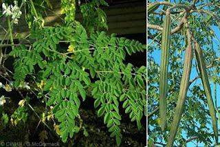 Terpenoid-alkaloid dari kelor (Moringa Oleifera) sebagai obat diabetes dan anti kanker