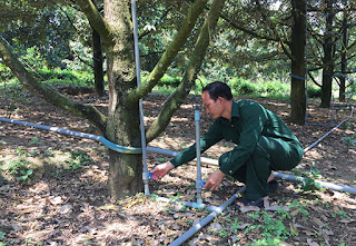 Tưới nước cây sầu riêng