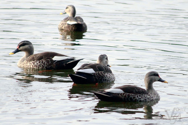 Spot-billed duck(55–63 cm) - Mysuru