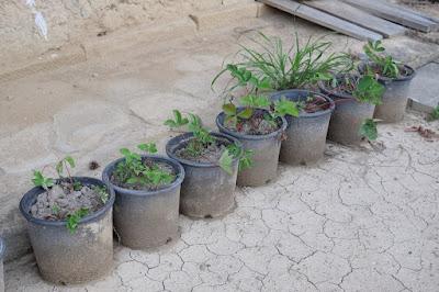 長野県生坂村 工芸と喫茶ひとつ石 庭に生えていた苺を鉢に