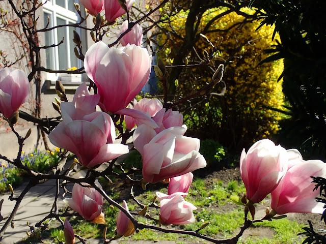 Cieszyńskie magnolie (kwiecień 2018)