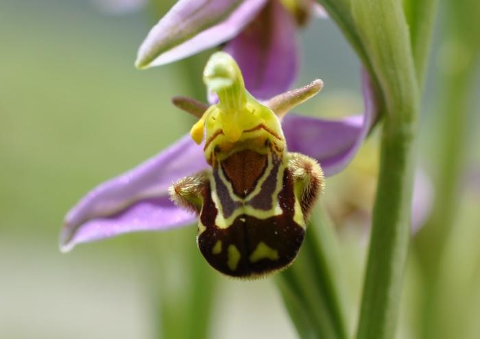 Botanique - l'Orchidée abeille - espèce sauvage protégée Orchide%CC%81e%20abeille