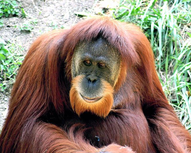Orangutan Memiliki Kekuatan Enam kali Manusia Dewasa