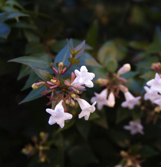 Flor Primavera