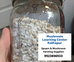 Buy Mushroom spawn from Biobritte Agro
