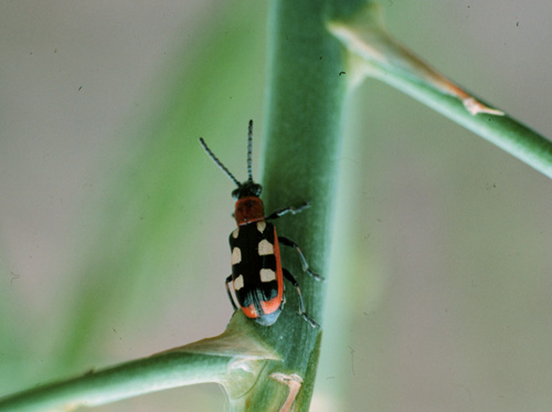 Asparagus Beetle Control: Yard And Garden News : University Of Minnesota Extension