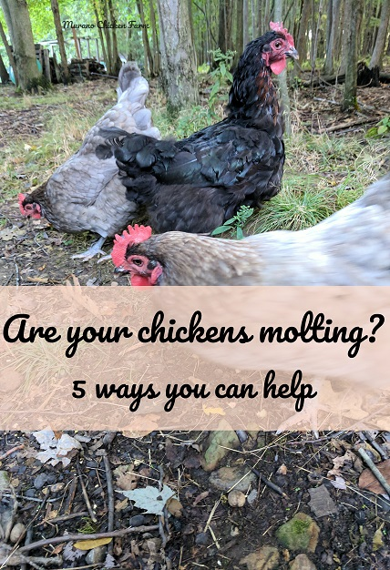molting | chickens