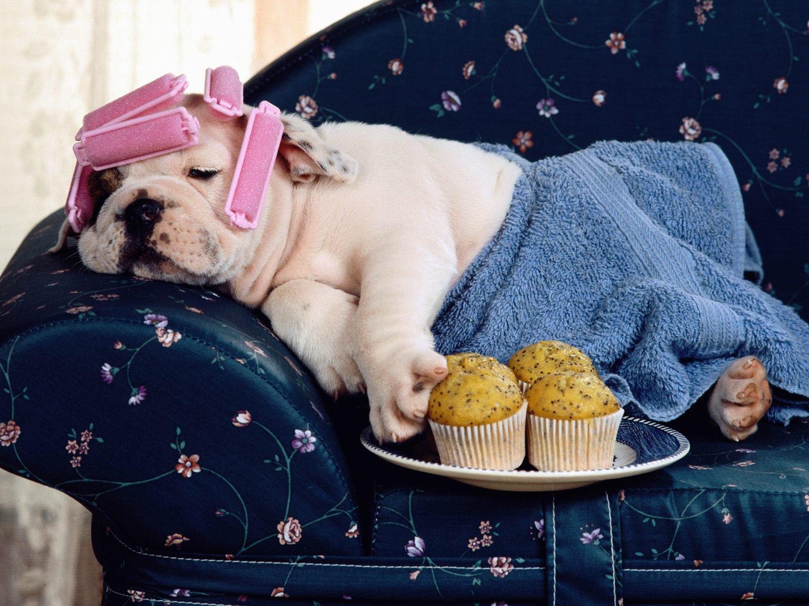 lazy bulldog puppies - photo #41