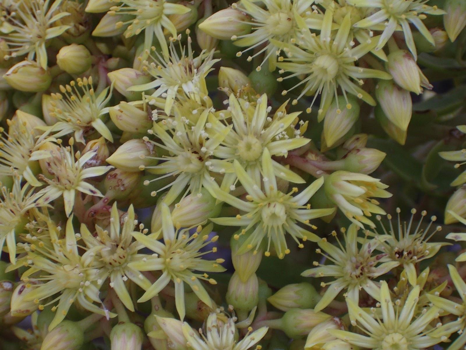 Aeonium arboreum subsp. arboreum x percarneum 07