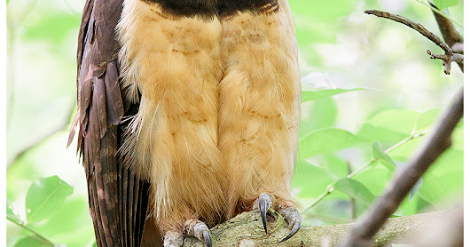 El Valle - the best place for Panama Birds & Wildlife Photos of 2017 (pt. 1) - Featured species: Spectacled Owl (Pulsatrix perspicillata)