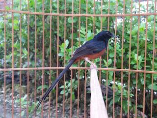 Jenis Burung Murai Batu Yang Ada Di Indonesia