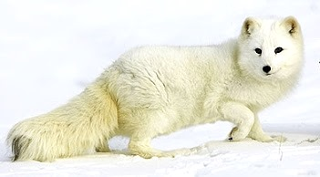 Foto de zorro color blanco