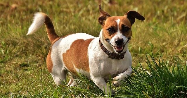 Mundo mascota al natural por qu los perros orinan sobre - Remedios caseros para que mi perro no muerda los muebles ...