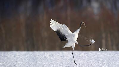 Japanese crane in Hokkaido, Japan © Regis Cavignaux/Getty Images