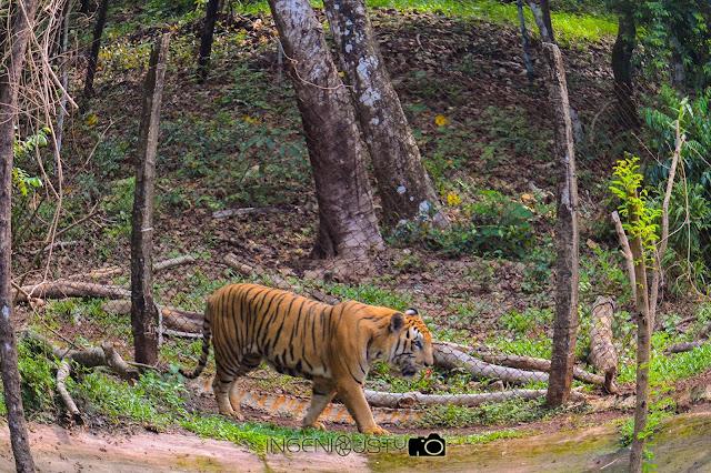 Tiger, sherkhan, mangalore, pilikula zoo, jungles