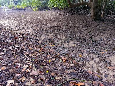 Mangrovenwald auf Curieuse bei Ebbe
