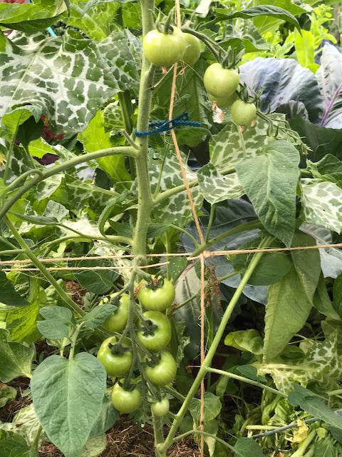 Tomaten (c) by Joachim Wenk