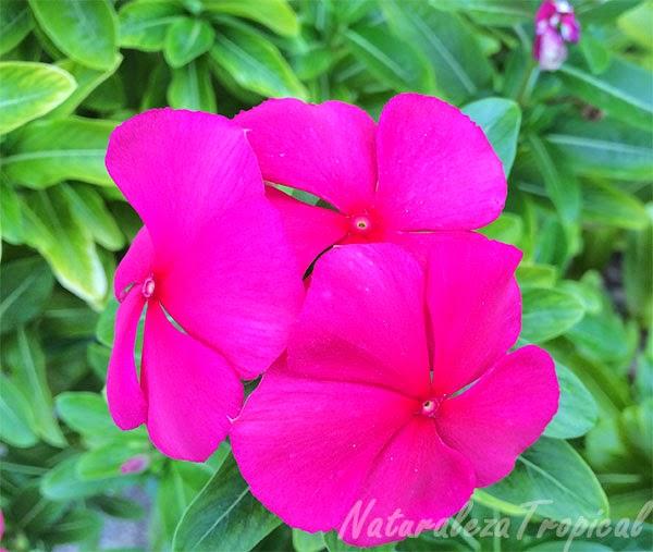 Variedad  roja de la flor Vicaria, nombre popular de Catharanthus roseus