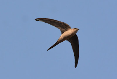 Birds like the swift were designed to fly, they did not evolve