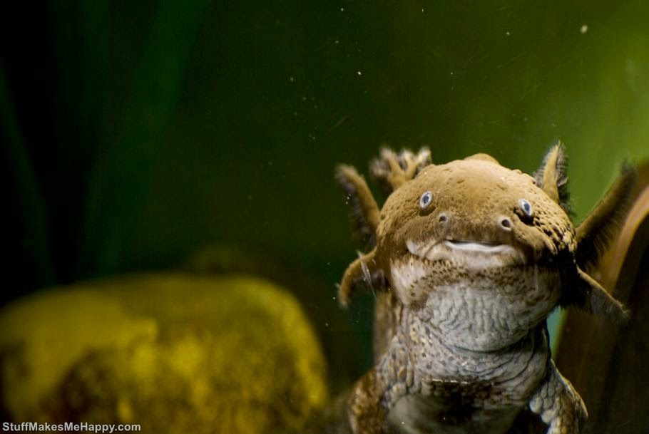 Axolotl, Photo by Widdowquinn