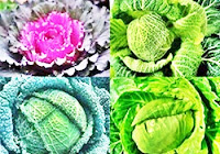 Cabbages diet, calories and benefits