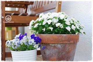 Gartenblog Topfgartenwelt Mein Frühlingsgarten: die letzten blühenden Hornveilchen auf der Terrasse