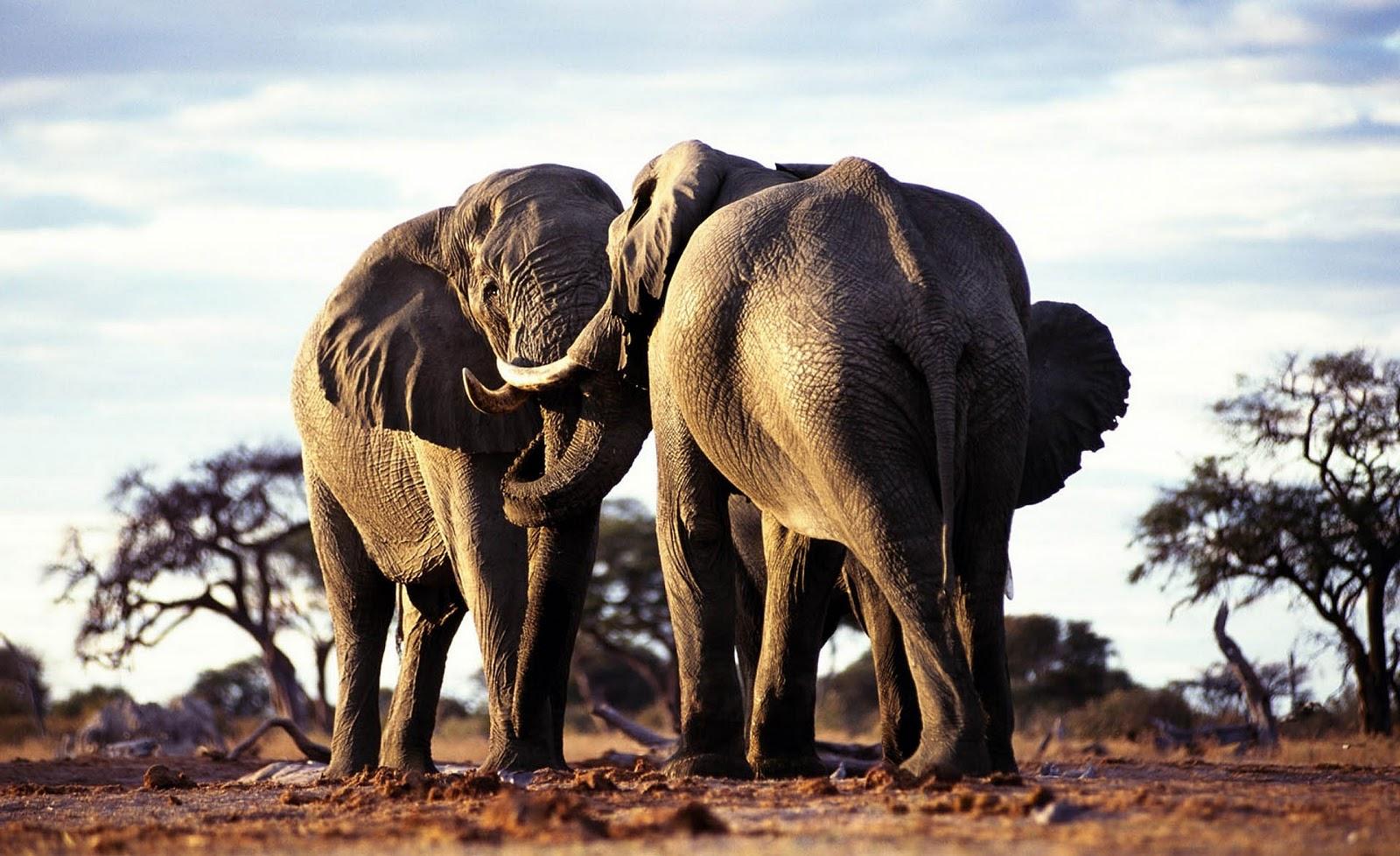 olifanten achtergronden bureaublad - photo #4