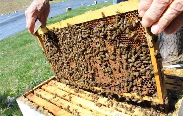 Ξεσφραγίστε τα μέλια για αύξηση γέννας και ανάπτυξη: Εύκολη τεχνική για τρίπατα μελίσσια