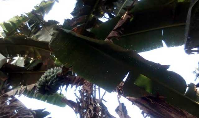কুড়িগ্রামের ফুলবাড়ী উপজেলা থেকে হারিয়ে যাচেছ দেশি আটিয়া কলা
